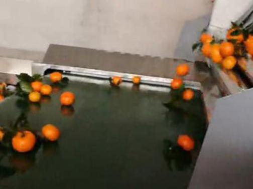 砂糖橘带叶分级